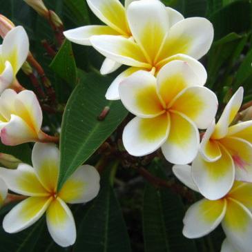 夏威夷雞蛋花